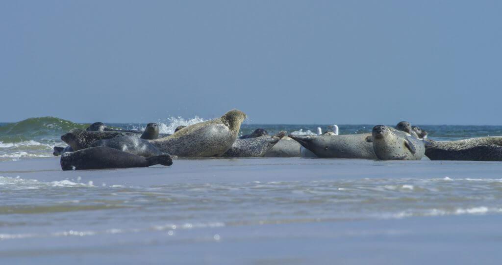 Zeehonden Texel - Zeehonden op Texel