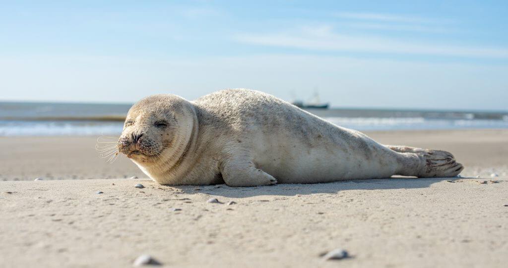 Zeehonden Texel - Zeehond op het strand